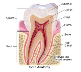 cross section of tooth; tooth enamel